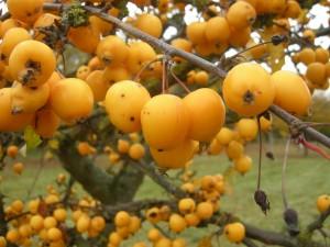 malus-golden-hornet-fruit